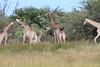 Giraffe_Botswana (2)
