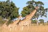 Giraffe_Botswana (18)