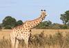 Giraffe_Botswana (33)