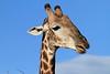 Giraffe_Botswana (7)