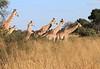 Giraffe_Botswana (11)