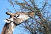 Giraffe_Botswana (5)