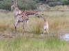 Giraffe_Botswana (4)