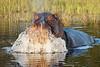 Hippo_Botswana_2008_0003