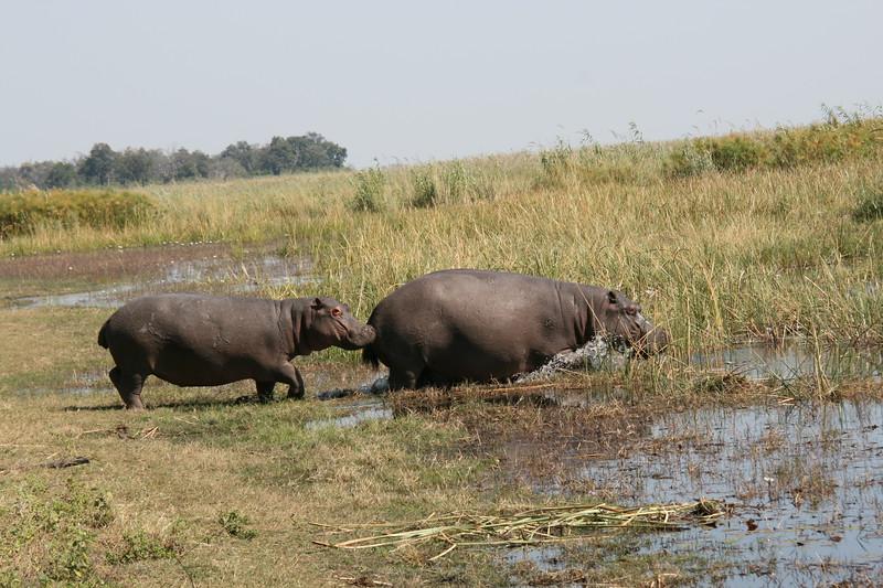 Hippo_Botswana_2008_0005