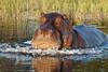 Hippo_Botswana_2008_0002