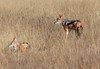 Black-backed_Jackal_Botswana (20)
