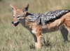 Black-backed_Jackal_Botswana (17)