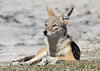 Black-backed_Jackal_Botswana (32)