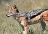 Black-backed_Jackal_Botswana (22)
