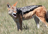 Black-backed_Jackal_Botswana (12)