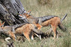 Black-backed_Jackal_Botswana (3)