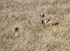 Black-backed_Jackal_Botswana (25)