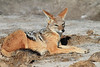Black-backed_Jackal_Botswana (8)