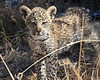 Leopard Botswana-62