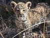 Leopard Botswana-23