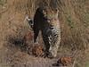 Leopard Botswana-8