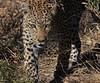 Leopard Botswana-11