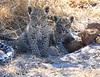 Leopard Botswana-25