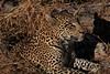 Leopard Botswana