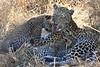 Leopard Botswana-19