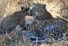 Leopard Botswana-15