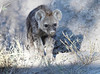 Spotted-Hyena_Botswana (18)