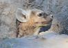 Spotted-Hyena_Botswana (14)