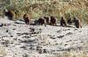 Dwarf_Mongoose_Botswana (7)