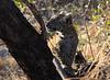 Leopard Botswana-65