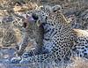 Leopard Botswana-31