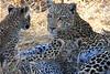 Leopard Botswana-14