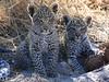 Leopard Botswana-27