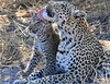 Leopard Botswana-30