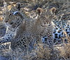 Leopard Botswana-32