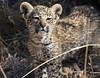 Leopard Botswana-22