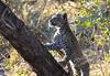 Leopard Botswana-33