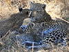 Leopard Botswana-17