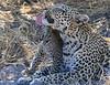 Leopard Botswana-29