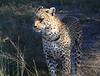 Leopard Botswana-7