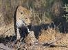 Leopard Botswana-9