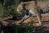 Leopard Botswana-4