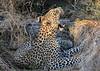 Leopard Botswana-2