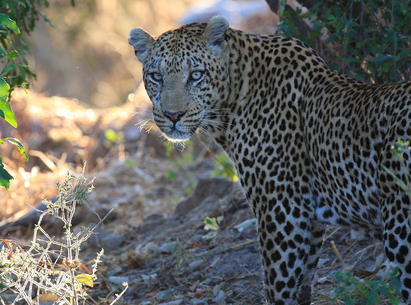 Leopard Botswana-3