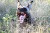 African_Wild-dog_Botswana (1)