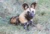 African_Wild-dog_Botswana (10)