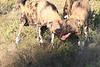African_Wild-dog_Botswana (18)