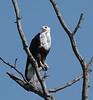African_Fish_Eagle_Botswana_2008_0005