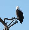 African_Fish_Eagle_Botswana_2008_0001