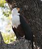 African_Fish_Eagle_Botswana_2008_0009